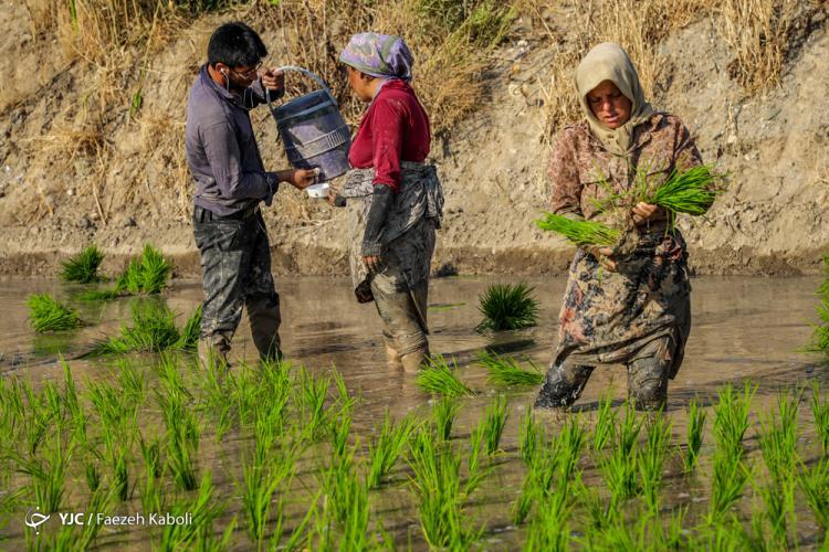 تصاویر نشاء برنج در گرگان,عکس های نشاء برنج در گرگان,تصاویر مراحل کشت برنج