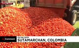 فیلم/ جنگ گوجه فرنگی در کلمبیا