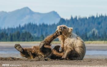 تصاویر بازی توله خرس ها,عکس های بازی توله خرس ها,تصاویر بازی توله خرس ها در آلاسکا