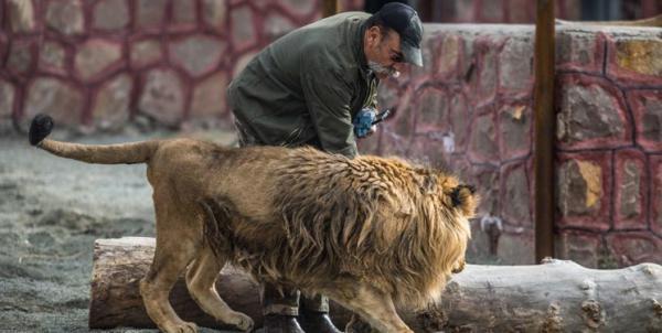 قفس شیرها در دهکده طبیعت قزوین,اخبار اجتماعی,خبرهای اجتماعی,محیط زیست
