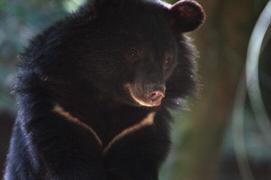 خرس سیاه بلوچی,اخبار علمی,خبرهای علمی,طبیعت و محیط زیست