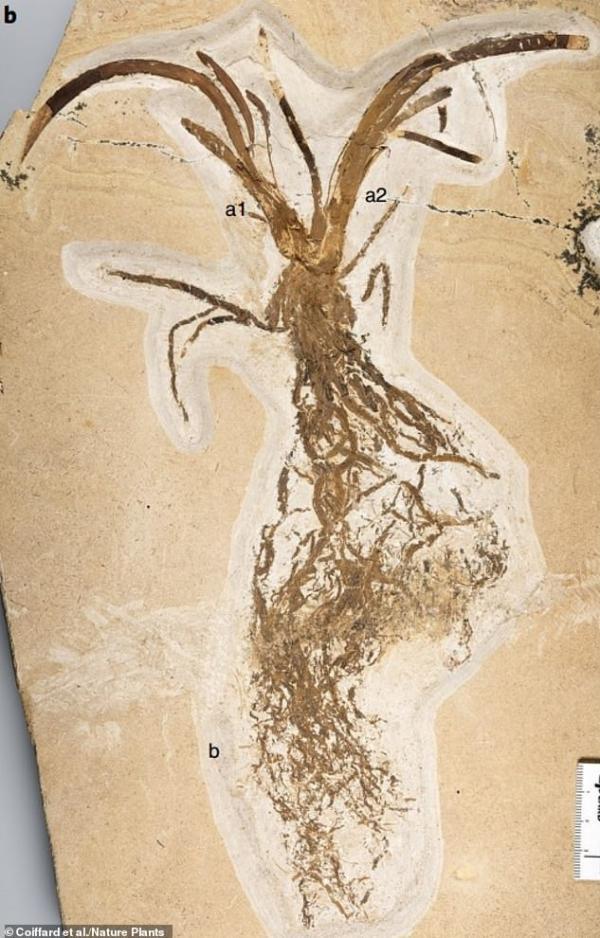فسیل زنبق,اخبار علمی,خبرهای علمی,طبیعت و محیط زیست