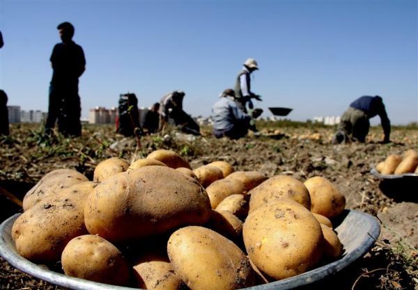 قیمت سیبزمینی تا ۱۵ روز آینده کاهش مییابد