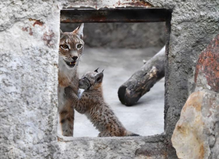 تصاویر سیاهگوش های باغ وحش مسکو,عکس های سیاهگوش های باغ وحش مسکو,تصاویر باغ وحش مسکو