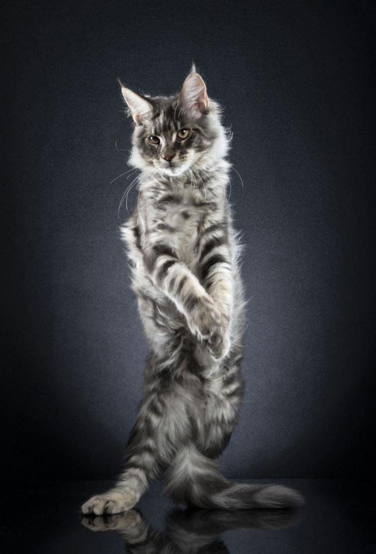 عکس گربه,تصاویر گربه روی دو پا,عکس راه رفتن گربه روی دو پا