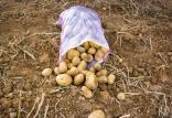 قیمت سیب زمینی در بازار,اخبار اقتصادی,خبرهای اقتصادی,کشت و دام و صنعت