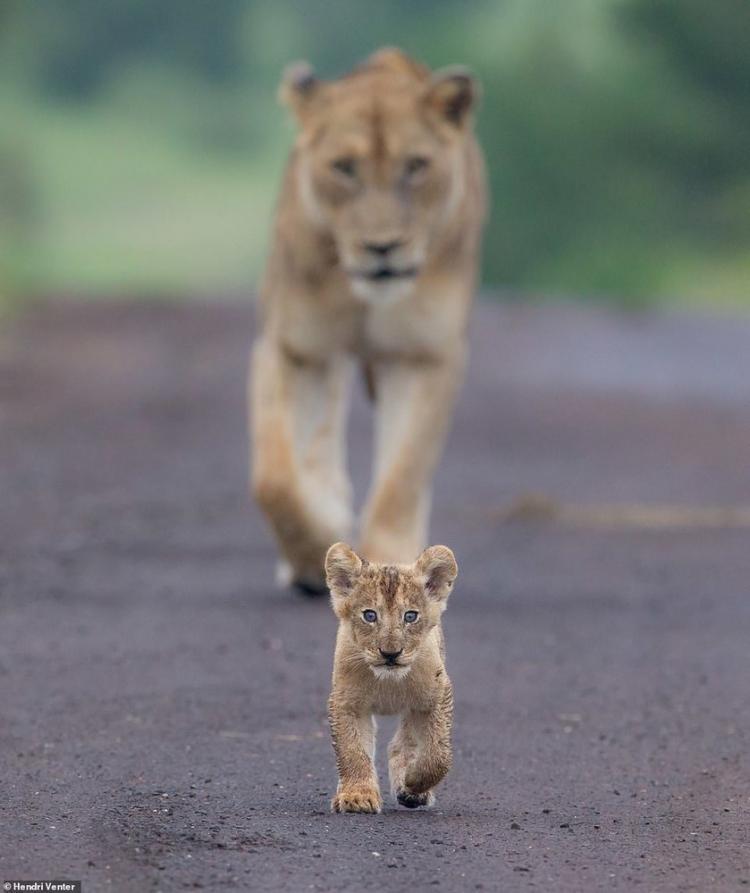 تصاویر شیرهای آفریقایی,عکس های عکس های حیات وحش,تصاویر کتاب شیرها را به یاد آور