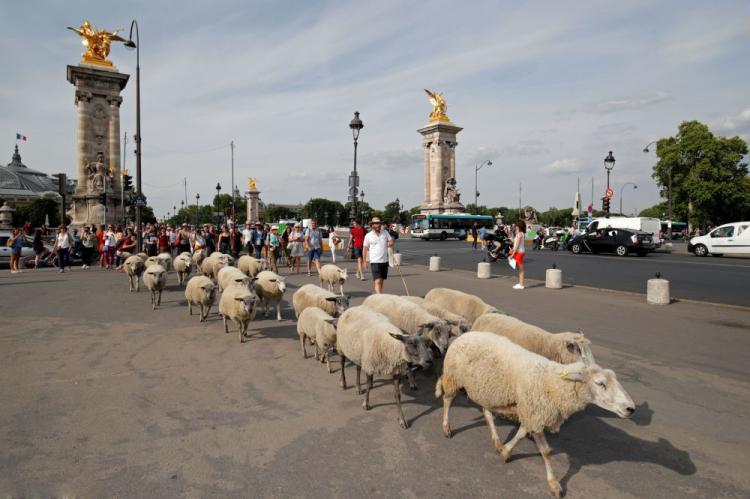 تصاویر گشت و گذار گوسفندان در پاریس,عکس های پاریس گردی گوسفندان,تصاویر گشت و گذار گوسفندان در برج ایفل