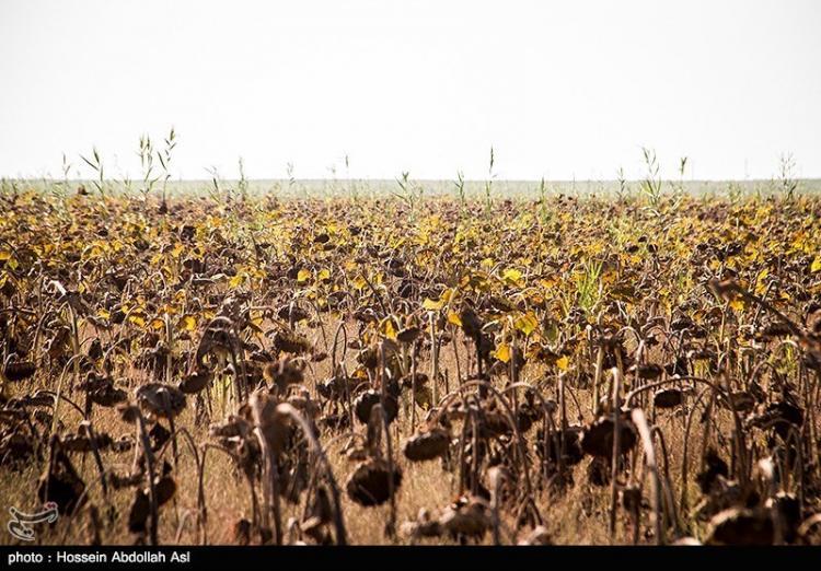 تصاویر برداشت گل آفتاب گردان در خرمشهر,عکس های برداشت گل آفتابگردان,تصاویر نحوه برداشت گل آفتابگردان