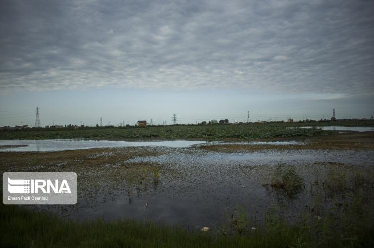 تصاویر تالاب نیلوفر آبی بابل,عکس های تالاب نیلوفر آبی بابل,تصاویر بزرگترین تالاب های محدوده ی مازندران