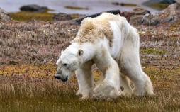 خرس قطبی,اخبار علمی,خبرهای علمی,طبیعت و محیط زیست