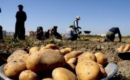 سیب زمینی,اخبار اقتصادی,خبرهای اقتصادی,کشت و دام و صنعت