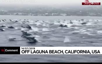 فیلم/ جستوخیز بیش از یکصد دلفین در آبهای سواحل کالیفرنیا