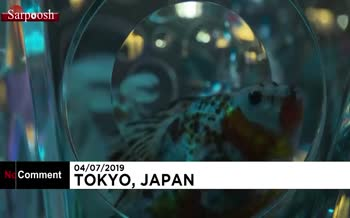 فیلم/ ماهیهای قرمز در آکواریوم هنری توکیو