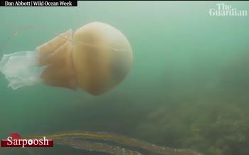 فیلم/ کشف عروس دریایی به اندازه یک انسان