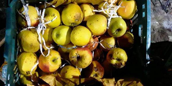 ورود مدعیالعموم به فساد یکهزار تن سیب در دماوند/ دستگیری ۲ نفر درباره فساد ۱۰۰ تن رب گوجه