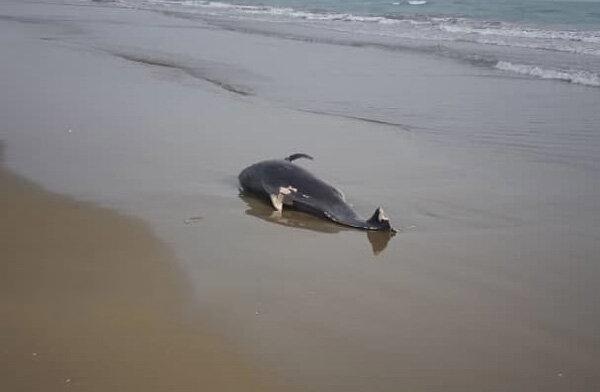 لاشه دلفین در ساحل جاسک,اخبار علمی,خبرهای علمی,طبیعت و محیط زیست