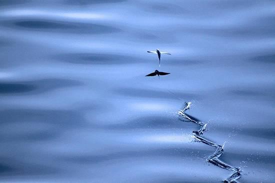 ماهی پرنده,اخبار جالب,خبرهای جالب,خواندنی ها و دیدنی ها