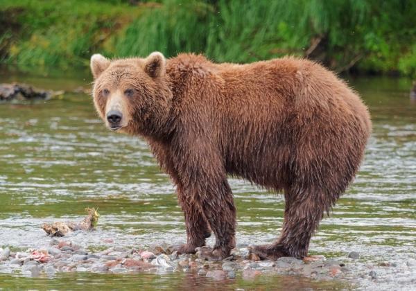 خرس جنگل,اخبار علمی,خبرهای علمی,طبیعت و محیط زیست