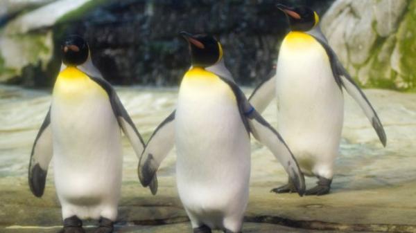 پنگوئن نر باغ وحش برلین,اخبار علمی,خبرهای علمی,طبیعت و محیط زیست