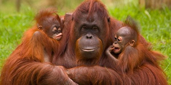میمون اورانگوتان,اخبار جالب,خبرهای جالب,خواندنی ها و دیدنی ها