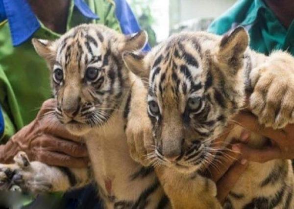 توله ببر در در باغ وحش وكيلآباد,اخبار اجتماعی,خبرهای اجتماعی,محیط زیست