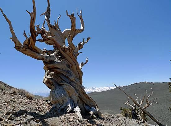 کهنسالترین درختان روی زمین,اخبار جالب,خبرهای جالب,خواندنی ها و دیدنی ها