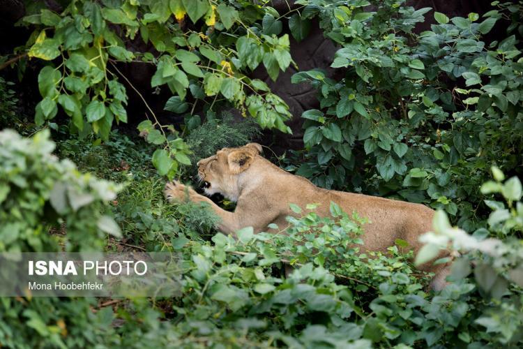 تصاویر آغاز زندگی مشترک شیرهای ایرانی باغ وحش ارم تهران,عکس شیرهای ایرانی در باغ وحش ارم،عکس د وشیر ایرانی در باغ ارم
