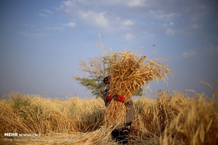 تصاویر برداشت گندم در کرمان,عکس های دیدنی از مزرعه گندم,تصاویر برداشت گندم از مزارع روستای دهزیار