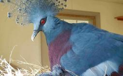 تصاویر کبوتر تاجدار ویکتوریا,عکس های کبوتر تاجدار ویکتوریا,تصاویر زیباترین کبوتر تاجدار