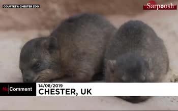 فیلم/ تولد سه قلوهای خرگوش کوهی-صخرهای در باغوحش چستر بریتانیا