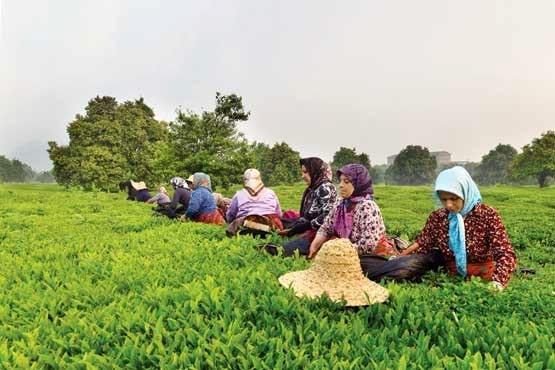 خرید برگ سبز چای از چایکاران شمالی,اخبار اقتصادی,خبرهای اقتصادی,کشت و دام و صنعت