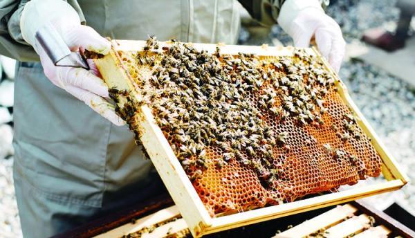 زنبور عسل,اخبار اقتصادی,خبرهای اقتصادی,کشت و دام و صنعت