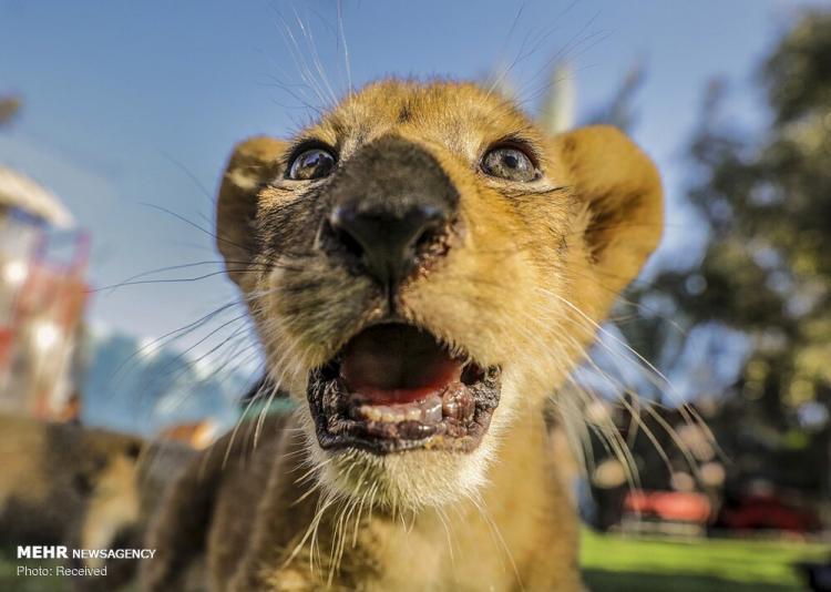 تصاویر بچه شیرهای باغ وحش غزه,عکس های بچه شیرهای باغ وحش غزه,تصاویر باغ وحش غزه