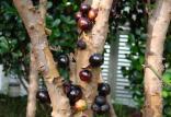 درخت جابوتیکابا,اخبار جالب,خبرهای جالب,خواندنی ها و دیدنی ها
