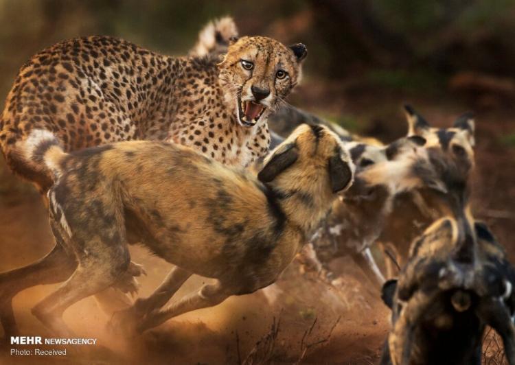 تصاویر دیدنی در مسابقه عکاس حیات وحش سال,عکس های مسابقه عکاس حیات وحش سال,تصاویر حیات وحش
