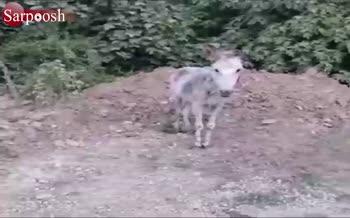 فیلم/ حیوانآزاری تکاندهنده در مازندران (هشدار! حاوی تصاویر دلخراش)