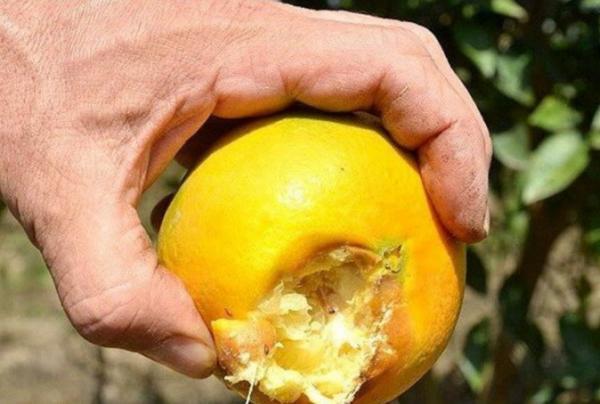هجوم مگسهای میوه خوار به شمال کشور!