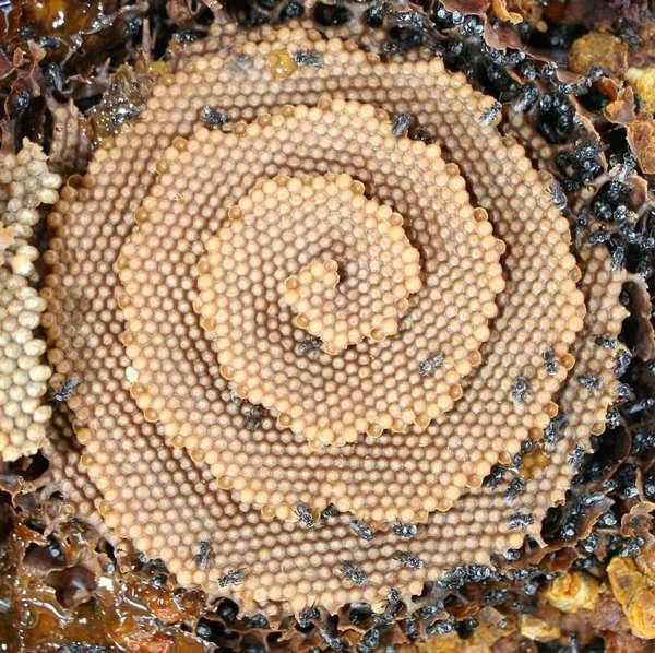 کندوی زنبورهای شوگربگ,اخبار جالب,خبرهای جالب,خواندنی ها و دیدنی ها