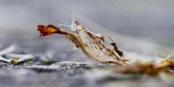 مقابله مورچهها با بیماری محصولات زراعی,اخبار علمی,خبرهای علمی,طبیعت و محیط زیست