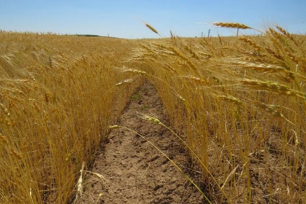 تولید گندم,اخبار اقتصادی,خبرهای اقتصادی,کشت و دام و صنعت