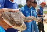کشف شاه مار کبرا در تایلند,اخبار جالب,خبرهای جالب,خواندنی ها و دیدنی ها