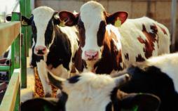 تغییرات رفتاری در گاوها,اخبار علمی,خبرهای علمی,طبیعت و محیط زیست