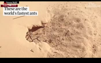 فیلم/ کشف سریع ترین مورچه دنیا
