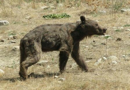 افزايش تعارض خرسها با انسان,اخبار اجتماعی,خبرهای اجتماعی,محیط زیست