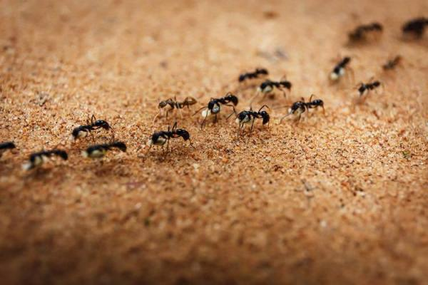 مورچهها,اخبار علمی,خبرهای علمی,طبیعت و محیط زیست