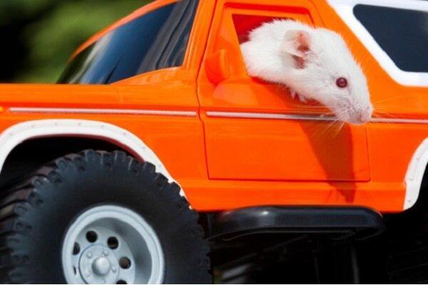 موش,اخبار علمی,خبرهای علمی,طبیعت و محیط زیست