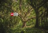 قدیمیترین درخت جهان,اخبار جالب,خبرهای جالب,خواندنی ها و دیدنی ها