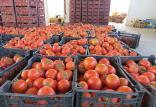 گوجه فرنگی,اخبار اقتصادی,خبرهای اقتصادی,کشت و دام و صنعت
