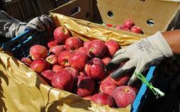 سیب درختی,اخبار اقتصادی,خبرهای اقتصادی,کشت و دام و صنعت